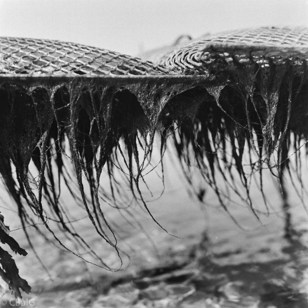 algues sous poches (enteromorphe, famille de l'ulve)